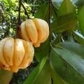 garcinia-cambogia-342760_640