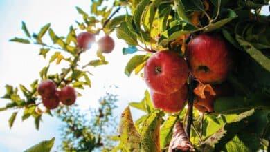 Photo of אודות תפוחי – מה אתם צריכים לדעת על משק תפוחי?